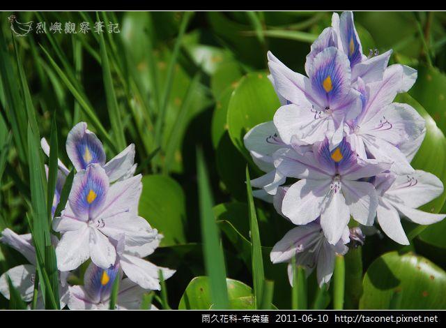 雨久花科-布袋蓮_09.jpg