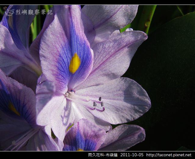 雨久花科-布袋蓮_12.jpg