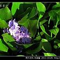 雨久花科-布袋蓮_16.jpg