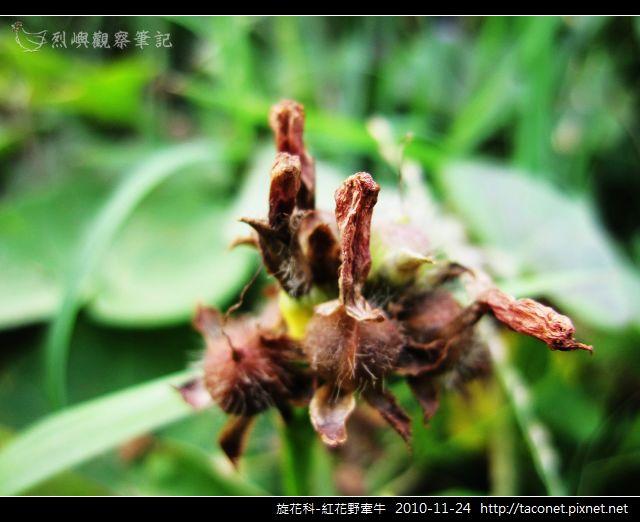 旋花科-紅花野牽牛_05.jpg