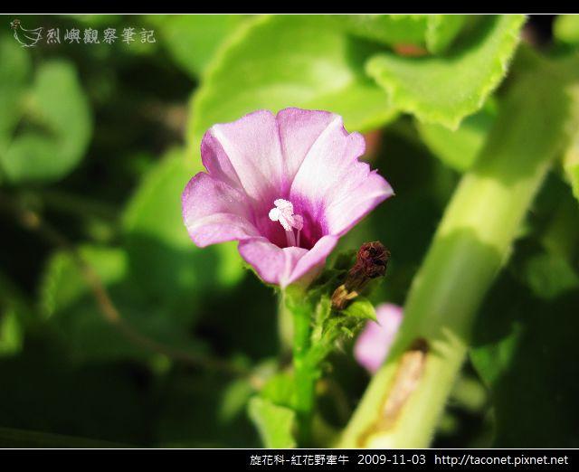 旋花科-紅花野牽牛_07.jpg