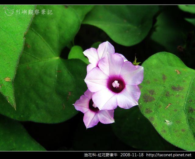 旋花科-紅花野牽牛_08.jpg