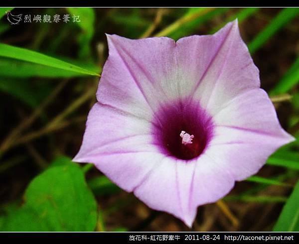 旋花科-紅花野牽牛_10.jpg
