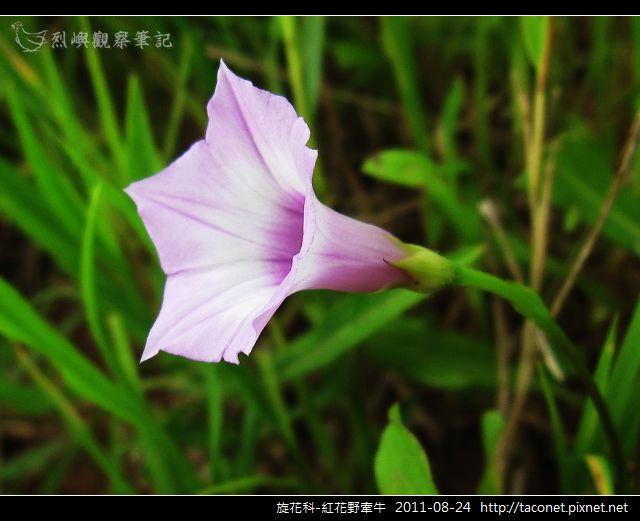 旋花科-紅花野牽牛_09.jpg