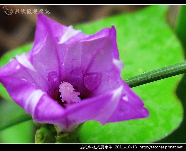 旋花科-紅花野牽牛_14.jpg