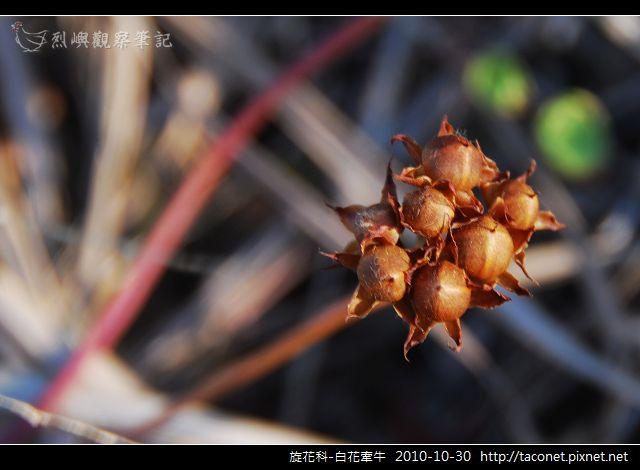 旋花科-白花牽牛_01.jpg