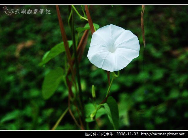旋花科-白花牽牛_02.jpg