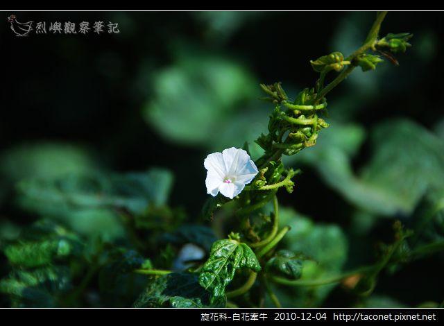 旋花科-白花牽牛_04.jpg