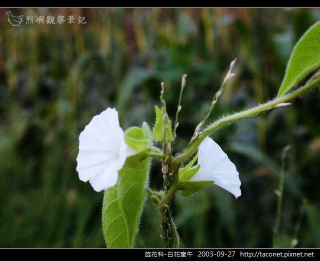 旋花科-白花牽牛_07.jpg