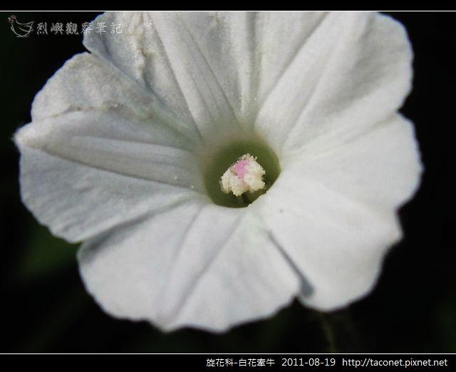旋花科-白花牽牛_12.jpg