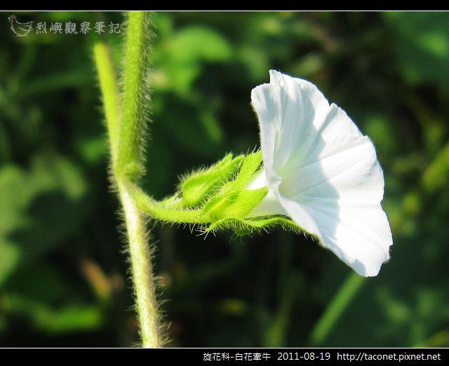 旋花科-白花牽牛_13.jpg