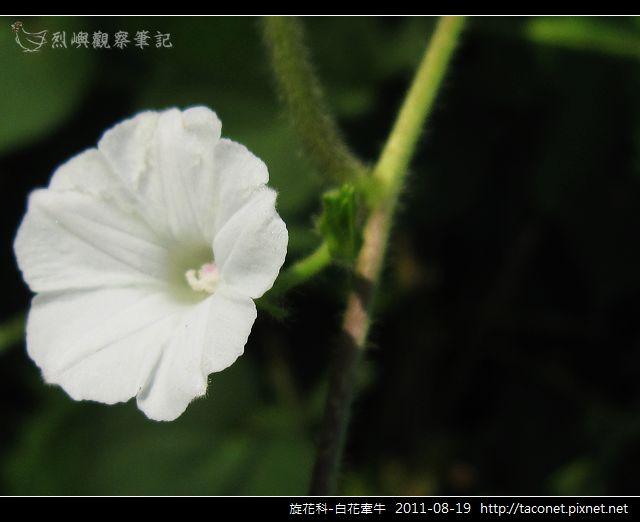 旋花科-白花牽牛_14.jpg