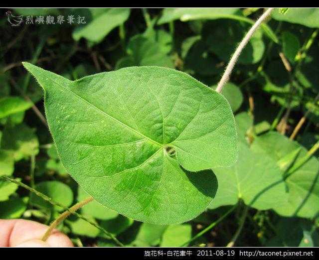 旋花科-白花牽牛_15.jpg