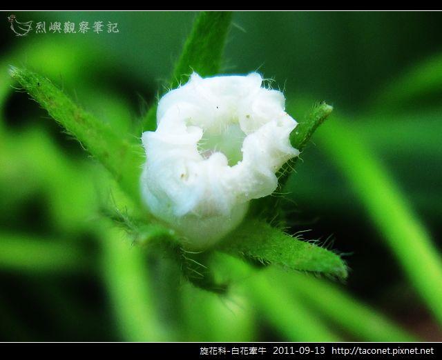 旋花科-白花牽牛_18.jpg