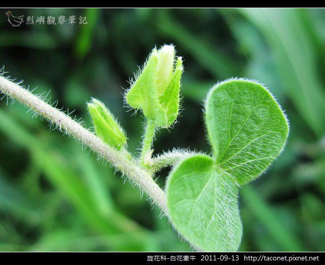 旋花科-白花牽牛_17.jpg