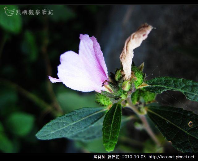 錦葵科-野棉花_05.jpg