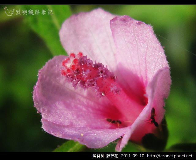 錦葵科-野棉花_07.jpg