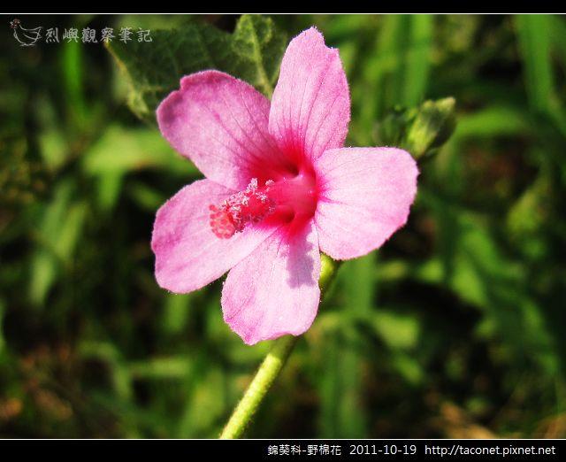 錦葵科-野棉花_09.jpg