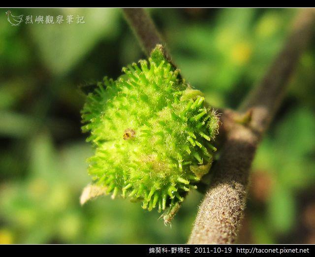 錦葵科-野棉花_11.jpg