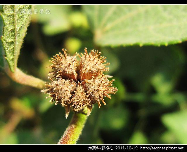 錦葵科-野棉花_12.jpg