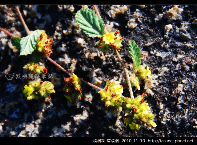 梧桐科-草梧桐_01.jpg