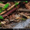 蜻蛉目-侏儒蜻蜓_01.jpg