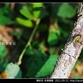 蜻蛉目-侏儒蜻蜓_02.jpg