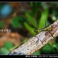 蜻蛉目-侏儒蜻蜓_04.jpg