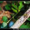 蜻蛉目-侏儒蜻蜓_03.jpg