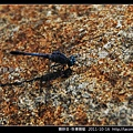 蜻蛉目-侏儒蜻蜓_05.jpg