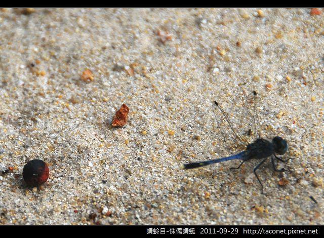 蜻蛉目-侏儒蜻蜓_07.jpg