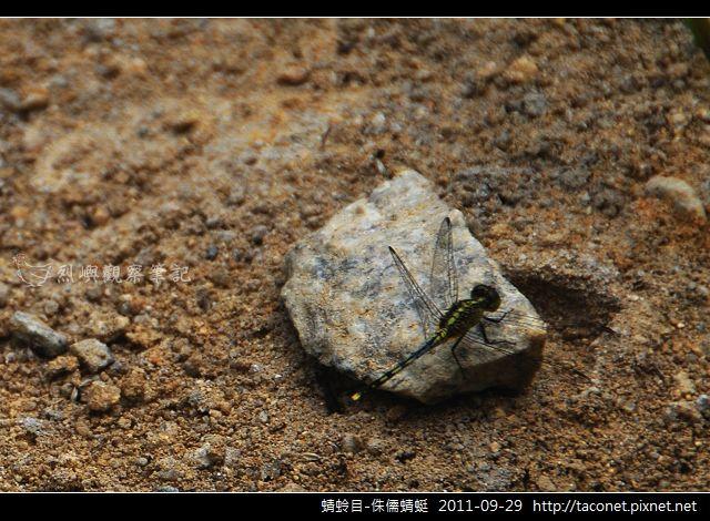 蜻蛉目-侏儒蜻蜓_06.jpg