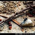 蜻蛉目-侏儒蜻蜓_08.jpg