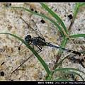 蜻蛉目-侏儒蜻蜓_09.jpg