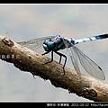 蜻蛉目-侏儒蜻蜓_10.jpg
