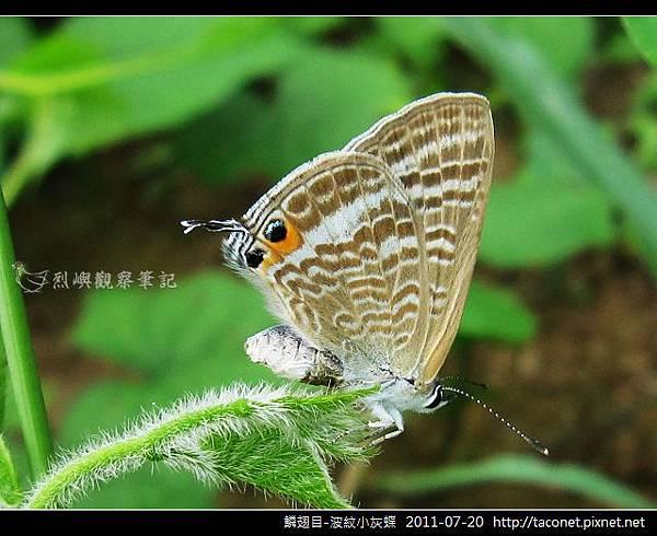 鱗翅目-波紋小灰蝶-20.jpg