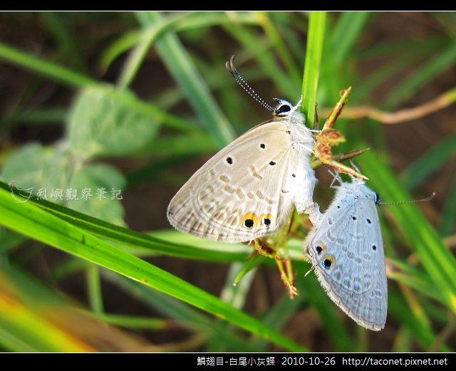 鱗翅目-白尾小灰蝶_01.jpg