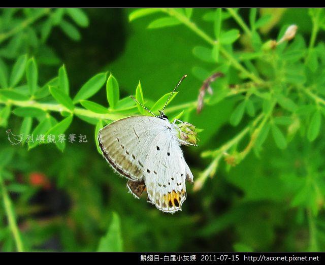 鱗翅目-白尾小灰蝶_02.jpg