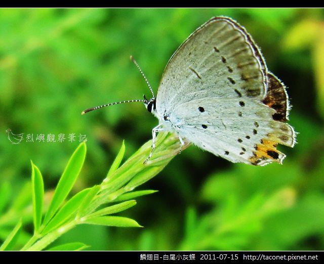 鱗翅目-白尾小灰蝶_03.jpg
