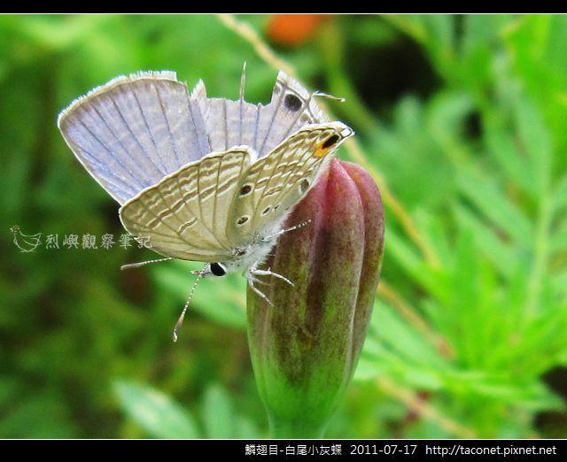 鱗翅目-白尾小灰蝶_05.jpg