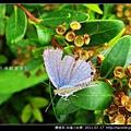 鱗翅目-白尾小灰蝶_06.jpg