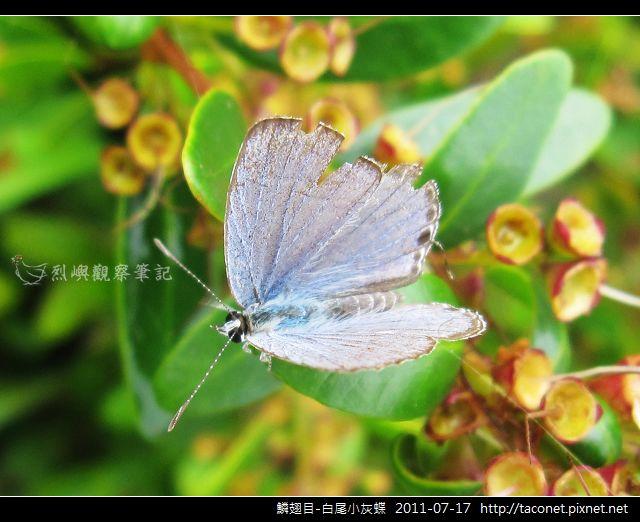 鱗翅目-白尾小灰蝶_08.jpg