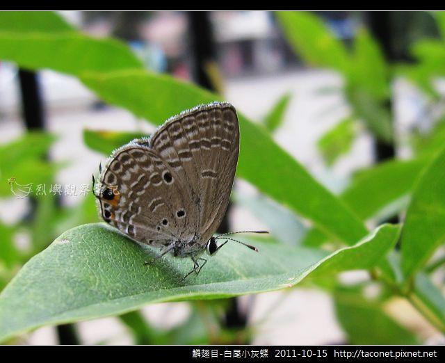 鱗翅目-白尾小灰蝶_09.jpg