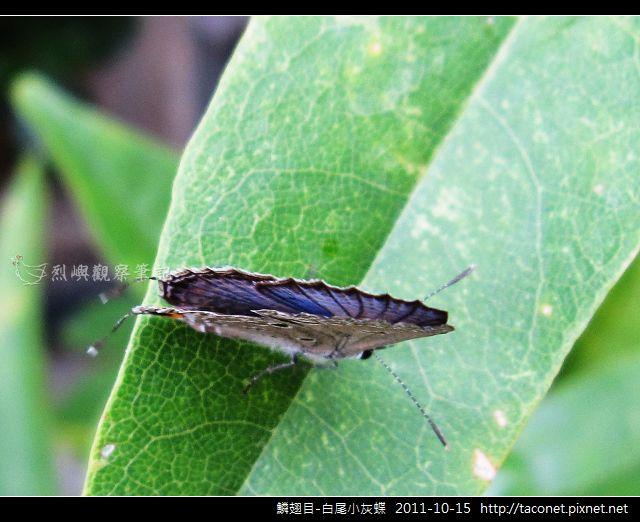鱗翅目-白尾小灰蝶_10.jpg
