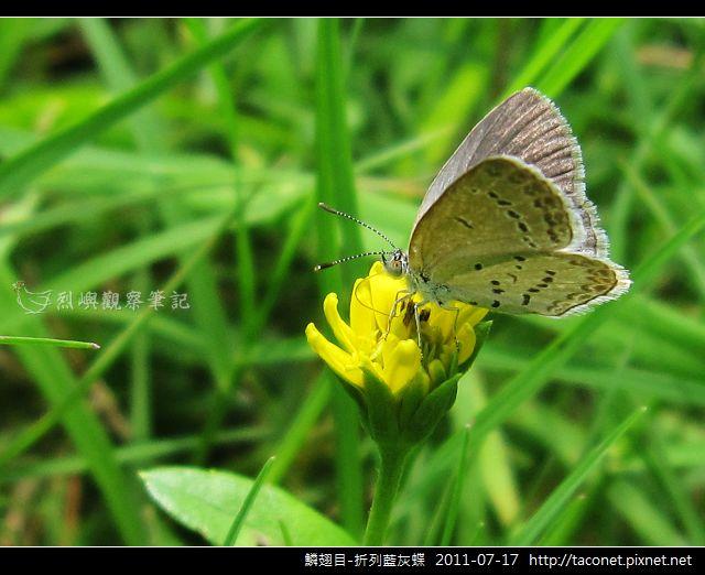 鱗翅目-折列藍灰蝶_01.jpg