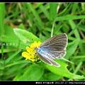 鱗翅目-折列藍灰蝶_02.jpg