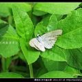 鱗翅目-折列藍灰蝶_03.jpg