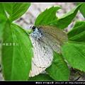 鱗翅目-折列藍灰蝶_04.jpg