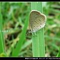 鱗翅目-折列藍灰蝶_05.jpg