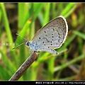 鱗翅目-折列藍灰蝶_07.jpg